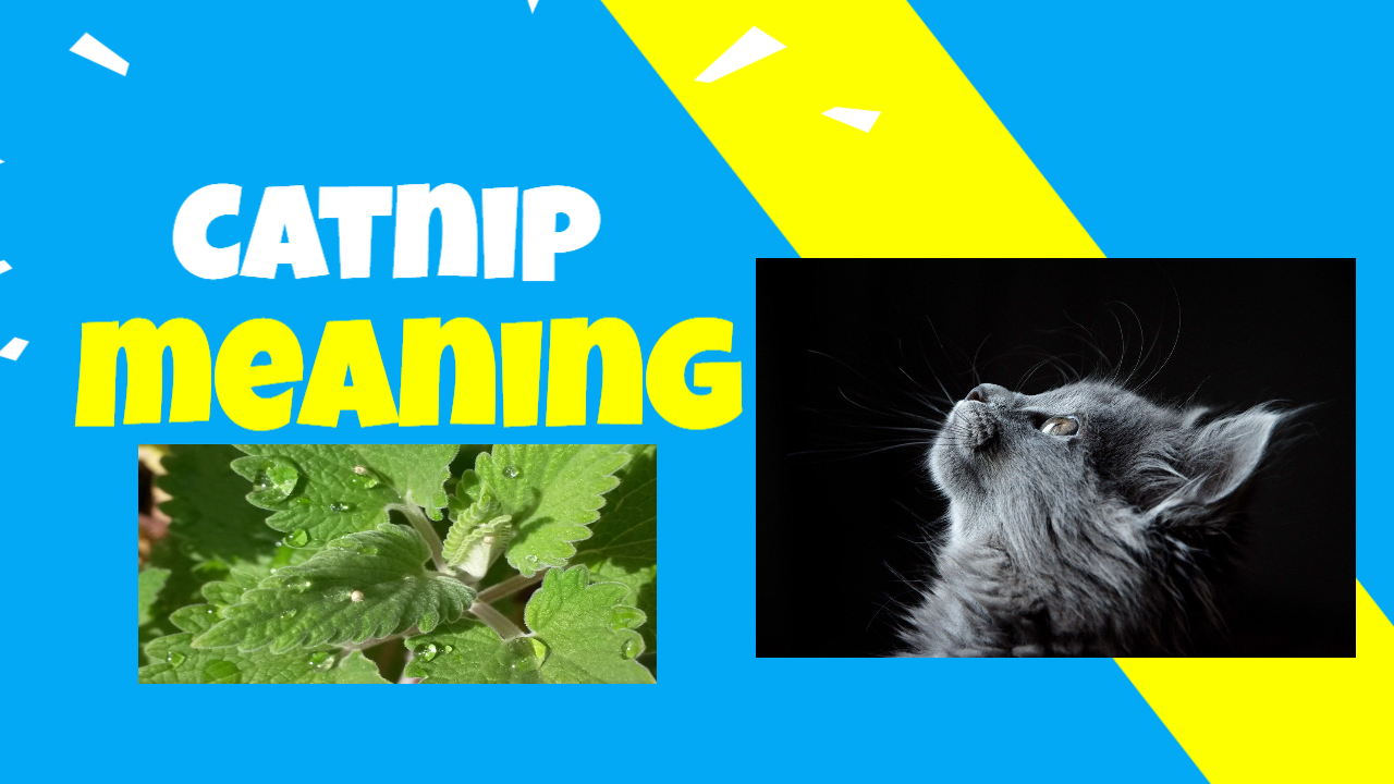 meaning of catnip