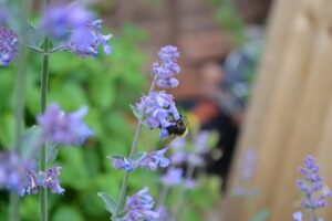 catmint-plant